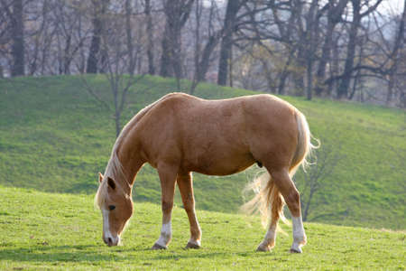 Horse In Morning Sun Feeding On Grass photo