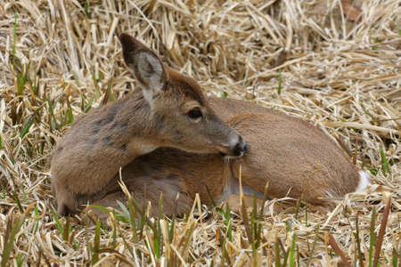 White-tail Deer Time For Cleaning photo