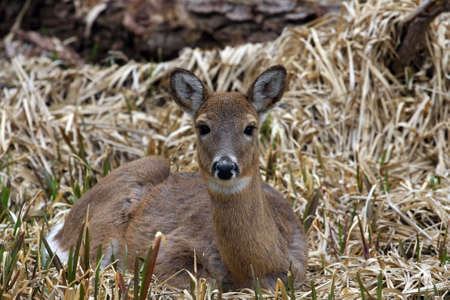 White-tail Deer Doe Laying In Marsh photo