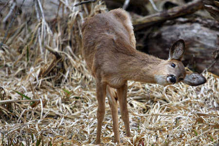 White-tail Deer Got An Itch photo
