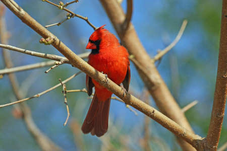 redbird: Cardinal Male Perched In Tree Stock Photo