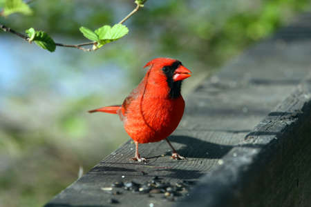 redbird: Cardinal Male On Rail In Morning Sun Stock Photo
