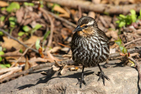 Red-winged Blackbird Female Standing On Rock photo