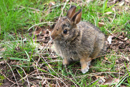 Cottontail Rabbit Young Baby In Grass