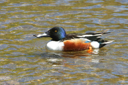 northern shoveler duck: Northern Shoveler Duck Male In Water