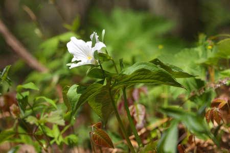 trillium: Trillium Flower In Early Spring Stock Photo