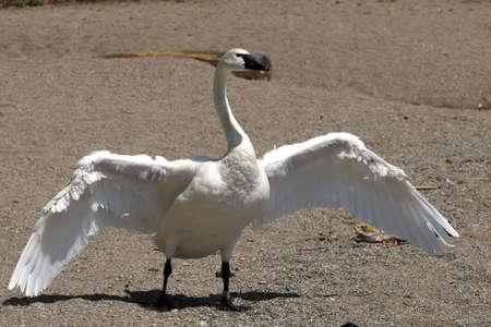 tundra swan: Tundra Swan Open Wings
