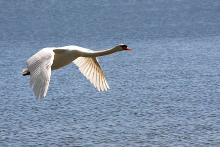 Mute Swan In Flight Over Water