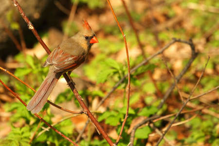 Cardinal Female Perched In Tree photo