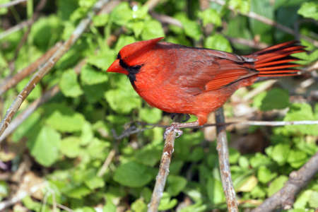 Male Cardinal View From Above photo