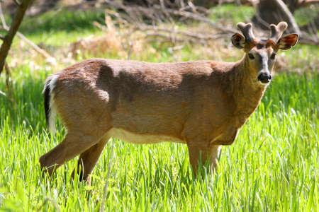 White-tailed Deer Buck Standing In Marsh Grass In Sun