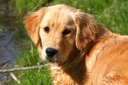 Golden Retriever Close-up photo