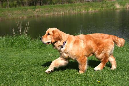 Golden Retriever With Pond Background Stock Photo