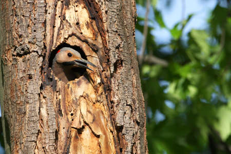 flicker: Northern Flicker Male (yellow shafted) In Nest Hole Stock Photo
