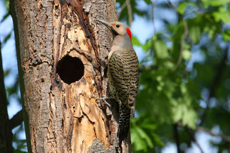 flicker: Northern Flicker Male (yellow shafted) On Side Of Tree Stock Photo