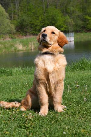 Golden Retriever Sitting photo