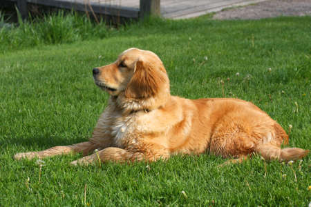Golden Retriever Laying In Grass In Afternoon Sun photo
