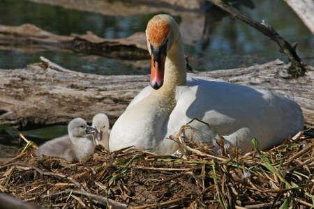 Mute Swan & Cygnets On Nest In Sun photo