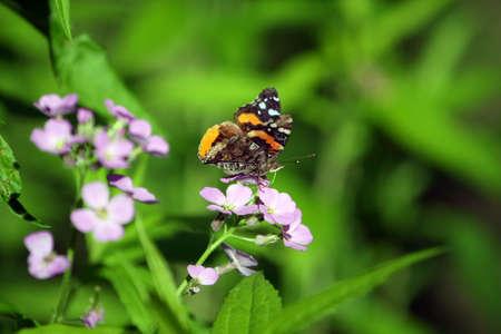 Red Admiral Butterfly - Vanessa atalanta Feeding Stock Photo