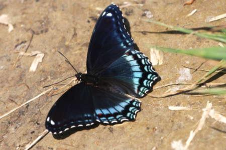 Taches rouge pourpre papillon - Limenitis arthemis  Banque d'images - 7108239