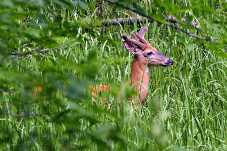 White-tailed Deer Buck In Tall Grass photo