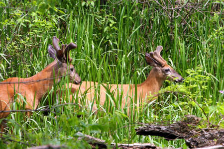 White-tailed Deer Two Bucks photo