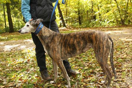 Brindle Greyhound Dog photo