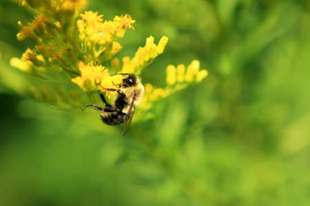 Bumble Bee On Golden Rod Flower photo