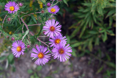 Purple Asters Long Point Provincial Park Stock Photo