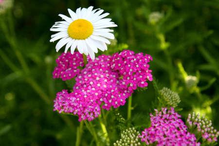 yarrow: Daisy Ox-eyed Flower - And Purple Yarrow