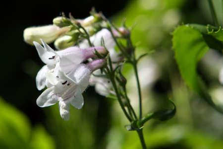 Foxglove Beardtongue Flower - Penstemon digitalis