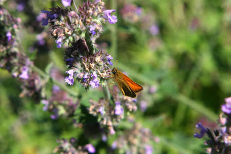 ochlodes: Least Skipper Butterfly - Ancyloxypha numitor