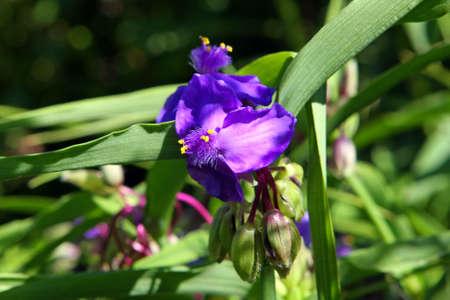 Spiderwort Flower - Tradescantia ohiensis photo