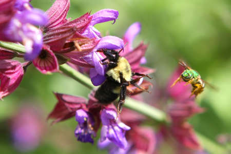 Green Metallic Bee And Bumble Bee Stock Photo - 7145519
