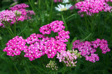 yarrow: Purple Yarrow - Achillea millefolium