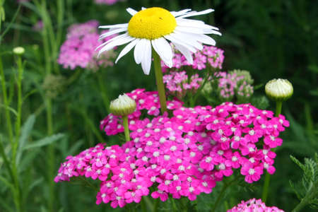 Purple Yarrow - Achillea millefolium photo
