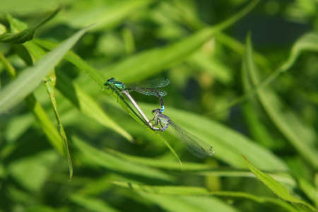 Eastern Forktail Damselfly Mating Male photo