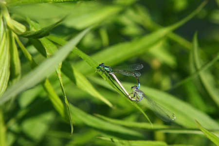 Eastern Forktail Damselfly Mating Female photo
