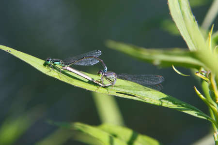 Eastern Forktail Damselfly Mating On Leaf photo