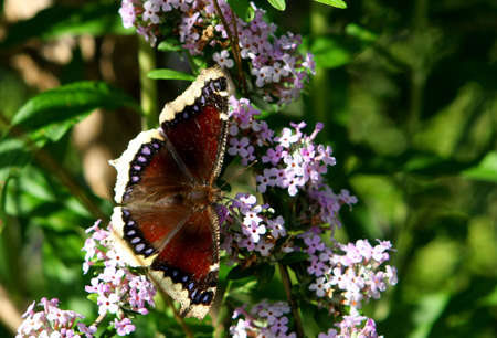 nymphalis: Mourning Cloak Butterfly - Nymphalis antiopa Feeding Stock Photo