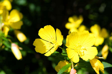 sundrops: Southern Sundrops Flower Dark Background