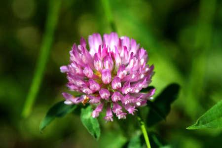 trifolium: Clover Flower - Trifolium