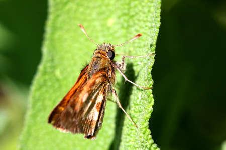 ochlodes: Woodland Skipper Butterfly