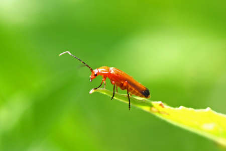 chitin: Common Red Soldier Beetle Stock Photo