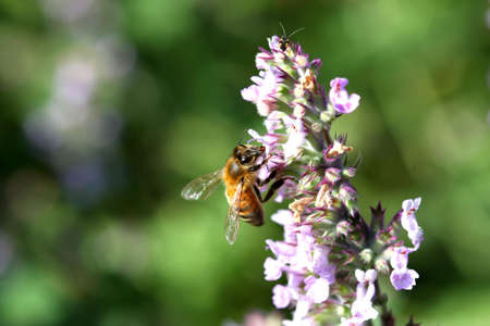 European Honey Bee On Catnip Flower Stock Photo - 7252676