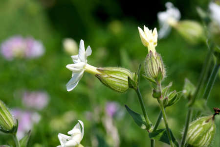 Evening Lychnis - Lychnis alba photo