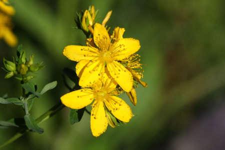 St. Johns Wort Flower photo