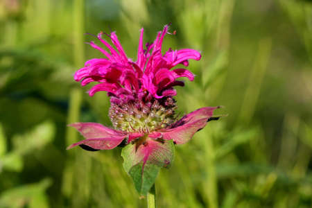 balm: Bee Balm Flower - Monarda
