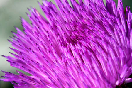 Bull Thistle Flower Close-up photo