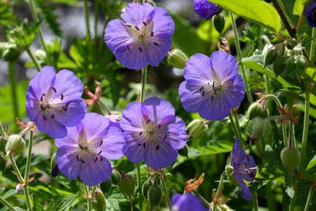 Geranium - Wild Geranium Family Stock Photo